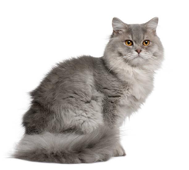Britannique Chat à poils longs, 1 an, assis - Photo