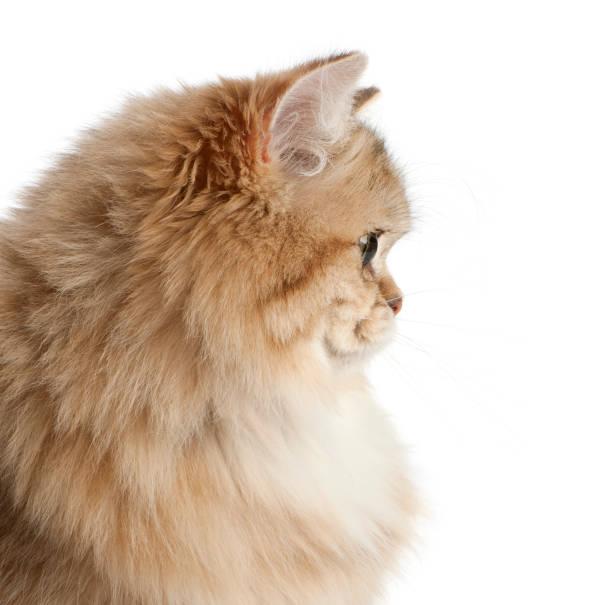 Chat British Longhair, 4 mois, sur fond blanc - Photo