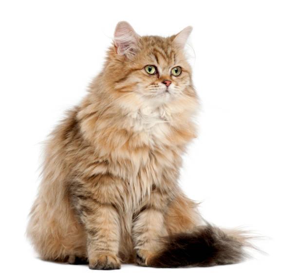 British longhair cat 4 months old sitting against white background picture id981660850?b=1&k=6&m=981660850&s=612x612&w=0&h=abkk f1slbhgobegjyzg zym1ubh4lcvl ik c0rprk=