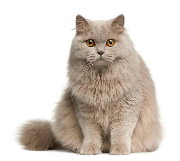Britannique Chat à poils longs, 8 mois - Photo