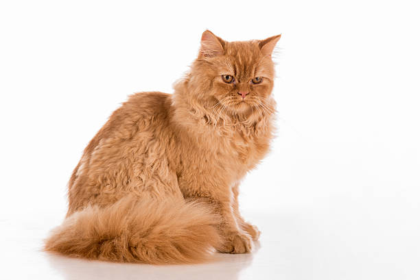 British longhair cat lying on the white desk picture id599118886?b=1&k=6&m=599118886&s=612x612&w=0&h=qpxmdrvxym8 amz8cyvbw51l7z6k6ixhlhl4uh1jfym=