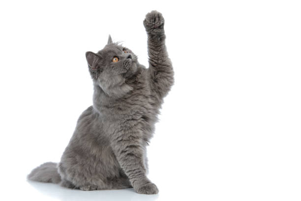 British longhair cat sitting and trying to reach something serious picture id1180979710?b=1&k=6&m=1180979710&s=612x612&w=0&h=w1deaq4bx9etez8oj4gcxyefm avfzfejhytldn0cpw=