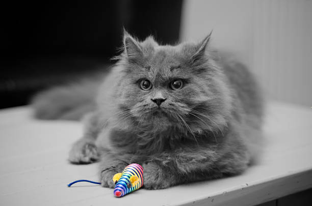 Britannique Chat à poils longs avec petite souris - Photo