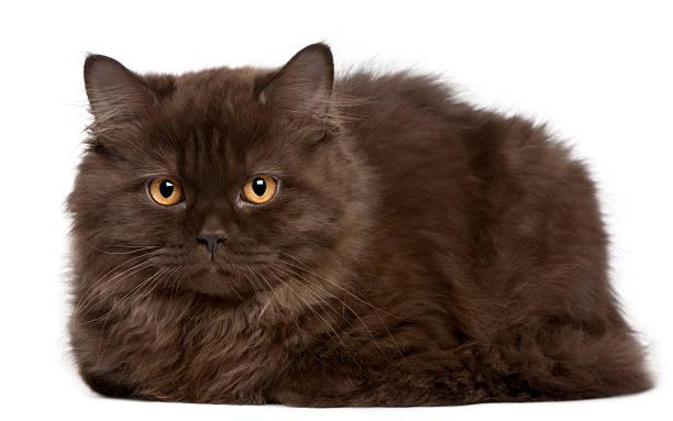 Petit chaton Britannique cheveux longs, 3 mois, allongé - Photo