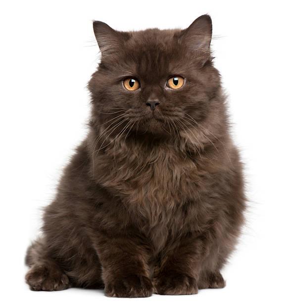 Petit chaton Britannique cheveux longs, 3 mois, espace salon - Photo