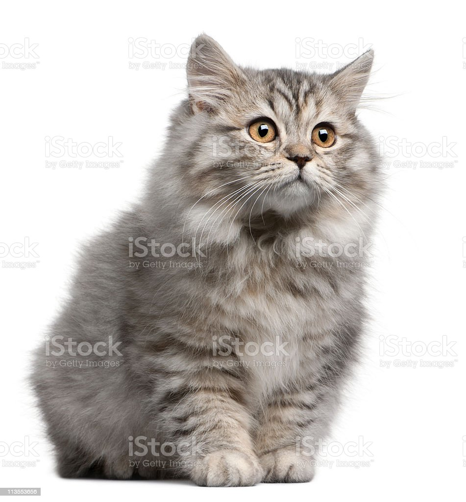 British Longhair kitten, 4 months old, white background. royalty-free stock photo