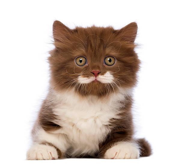 Cheveux longs Britannique chaton, 6 semaines vieux, allongé - Photo