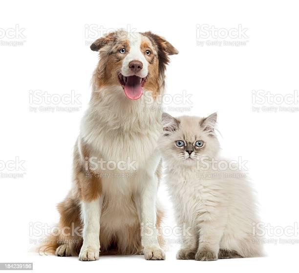 British longhair kitten and australian shepherd sitting picture id184239186?b=1&k=6&m=184239186&s=612x612&h=pamk9w8umk6yv6hgbxfveftehiwrdraygh a4azch8g=