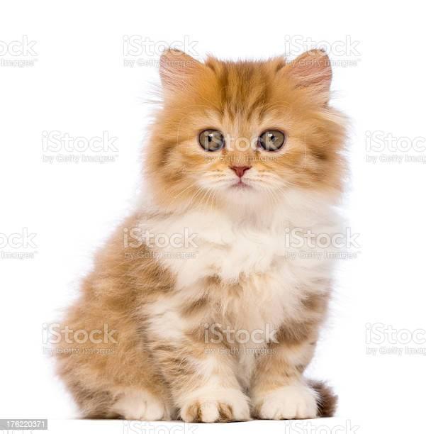 British longhair kitten sitting and looking at the camera picture id176220371?b=1&k=6&m=176220371&s=612x612&h=bd2mxf11lbsb0 jl7i3r6 4d pcw  fawjcf31gbqks=
