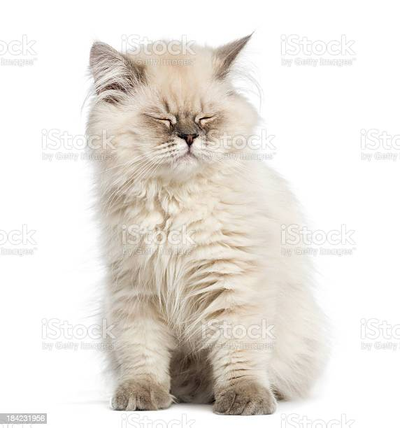 British longhair kitten sitting eyes closed isolated on white picture id184231956?b=1&k=6&m=184231956&s=612x612&h=ypts ctl tewdqldkyzgpmtope87gta7inwlumtllxm=