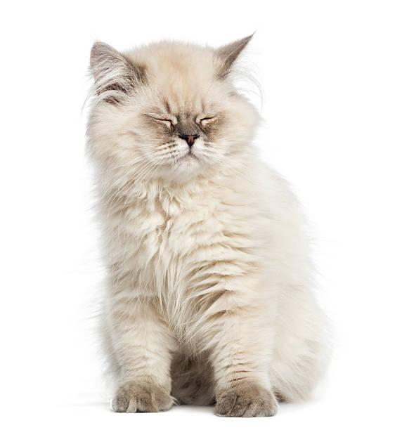 British longhair kitten sitting eyes closed isolated on white picture id184231956?b=1&k=6&m=184231956&s=612x612&w=0&h=jr109x1cfluhyzyozov775am0dz8e9i9zh4xhtnlt o=