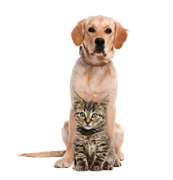 British longhair kitten sitting in front of a golden retriever picture id526664037?b=1&k=6&m=526664037&s=612x612&w=0&h= g 5itmbttfwb mynxrrwy3rzaqzn8hchzpx4ovp jo=