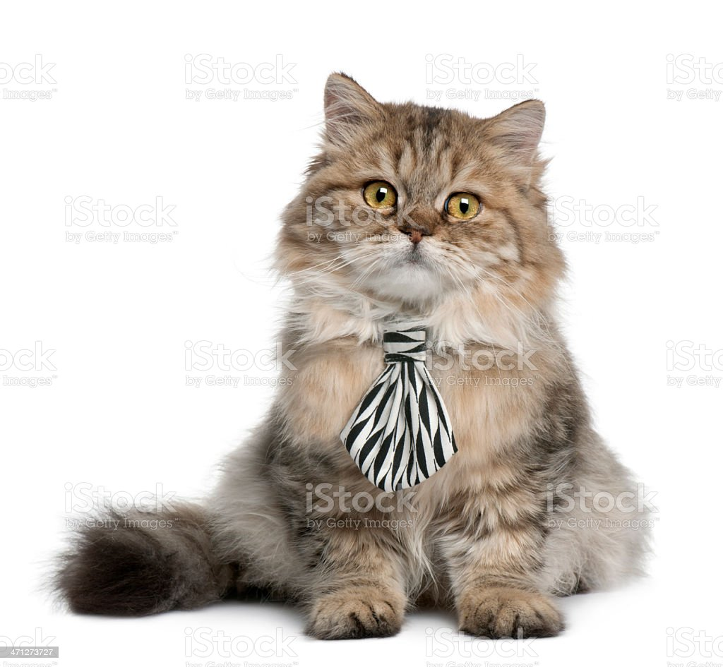 British Longhair kitten wearing a tie, 3 months old, sitting. stock photo