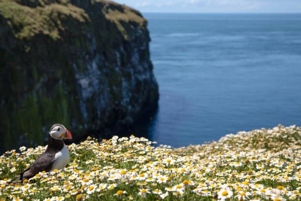 British Puffin Seabird (Fratercula arctica) from Skomer Island, Pembrokeshire, Wales UK stock photo