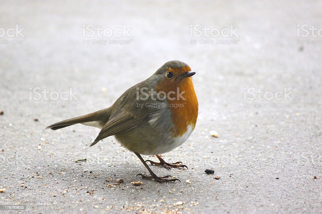 British red breasted robin stood alone stock photo