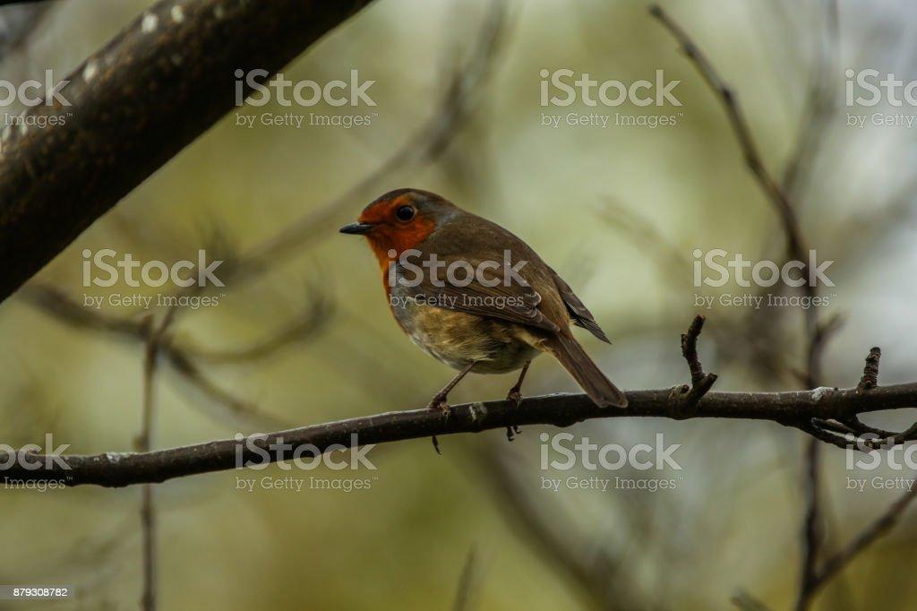 British Red stock photo