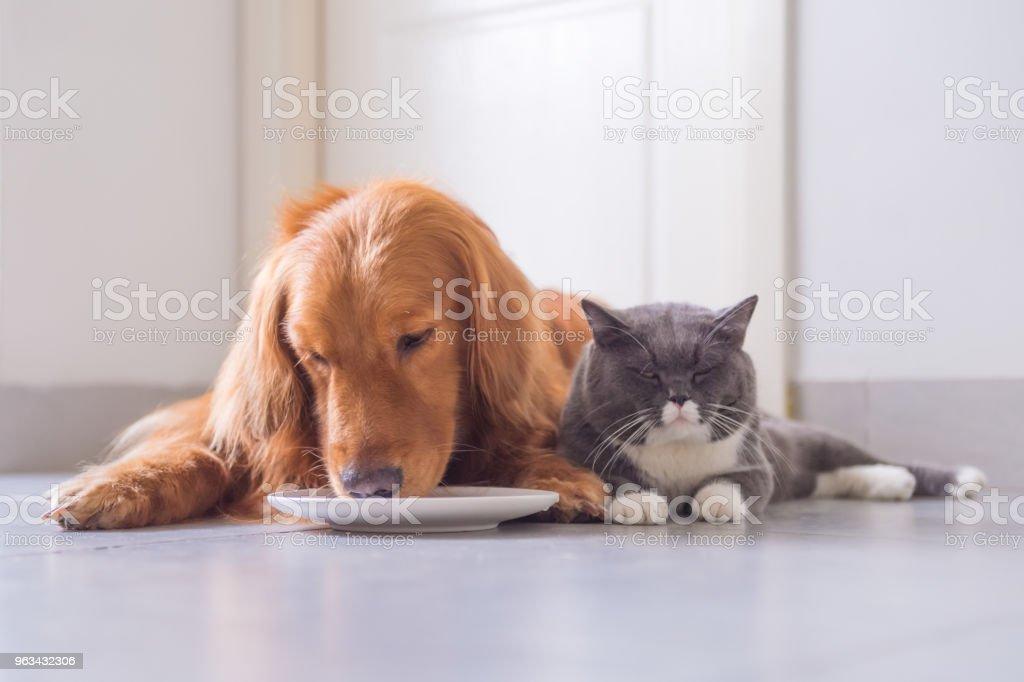Brittiska kort hår katt och golden retriever - Royaltyfri Djur Bildbanksbilder