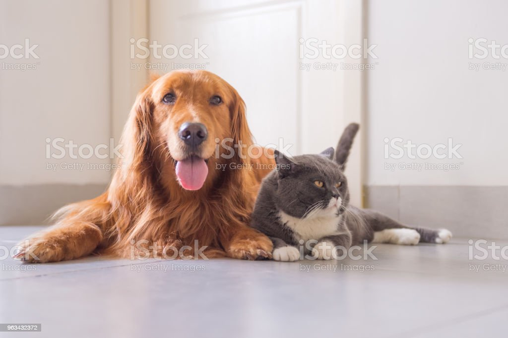 British Short Hair Cat And Golden Retriever Stock Photo Download Image Now Istock