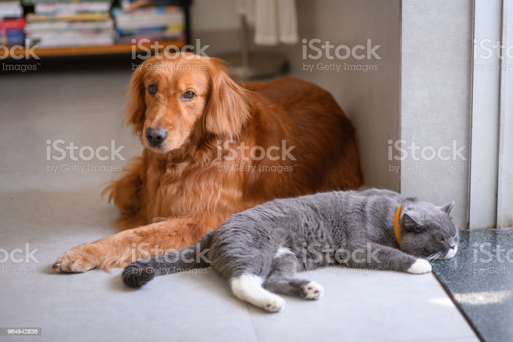 British short hair cat and golden retriever royalty-free stock photo