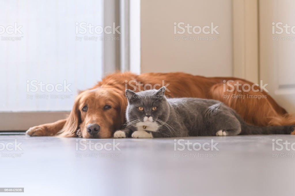 British short hair cat and golden retriever royalty-free stock photo