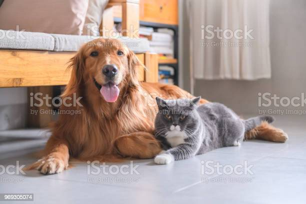 British short hair cat and golden retriever picture id969305074?b=1&k=6&m=969305074&s=612x612&h=fojqwexshgyf 7plbw9nqcgbirgrdsmfppt2c o6iye=
