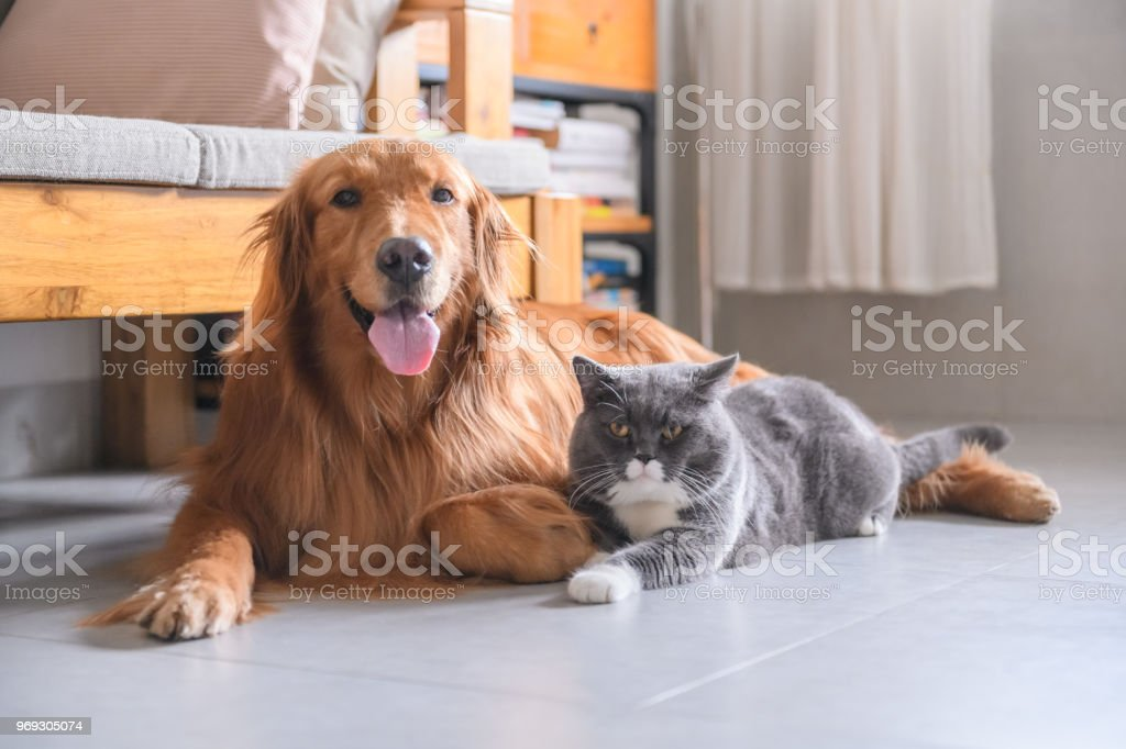 British short hair cat and golden retriever stock photo
