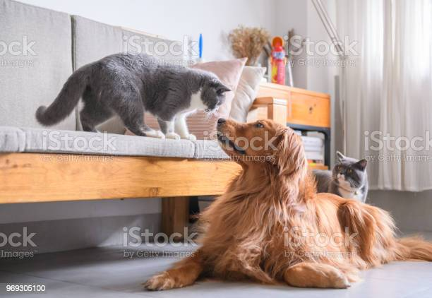 British short hair cat and golden retriever picture id969305100?b=1&k=6&m=969305100&s=612x612&h=d2ha tfy9xlxjcpnvncyys0nsqpo4veigab5le9bygk=