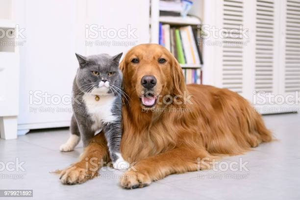 British short hair cat and golden retriever picture id979921892?b=1&k=6&m=979921892&s=612x612&h=gr160z9bt pylusd8s 4oemf5xxoipsvwkhpeminmua=