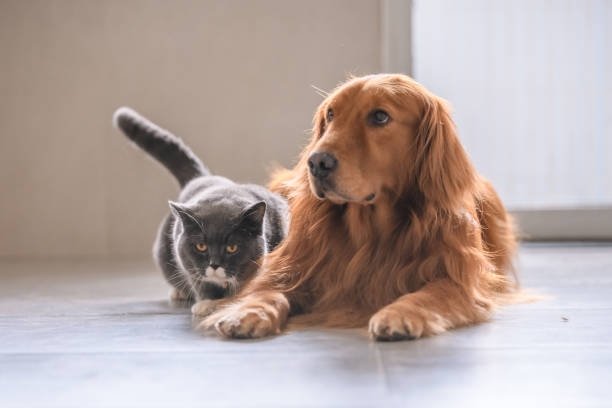 British short hair cat and golden retriever picture id992637092?b=1&k=6&m=992637092&s=612x612&w=0&h=0owusjng0eomvqsbfdupy9t yndeak5wflxlvr4g x0=