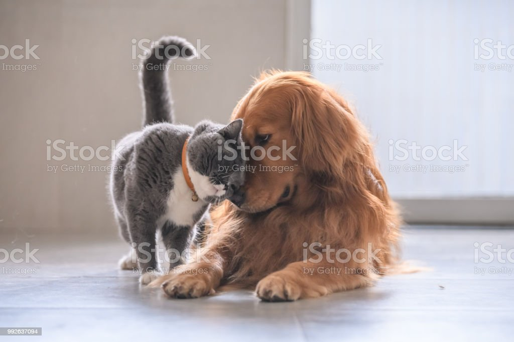 British short hair cat and golden retriever foto stock royalty-free