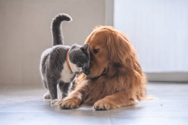 British short hair cat and golden retriever stock photo