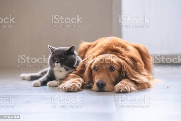 British short hair cat and golden retriever picture id992637108?b=1&k=6&m=992637108&s=612x612&h=bswdymkjnxkjnrazxjl09v yzaahutxkfxgof73oyia=