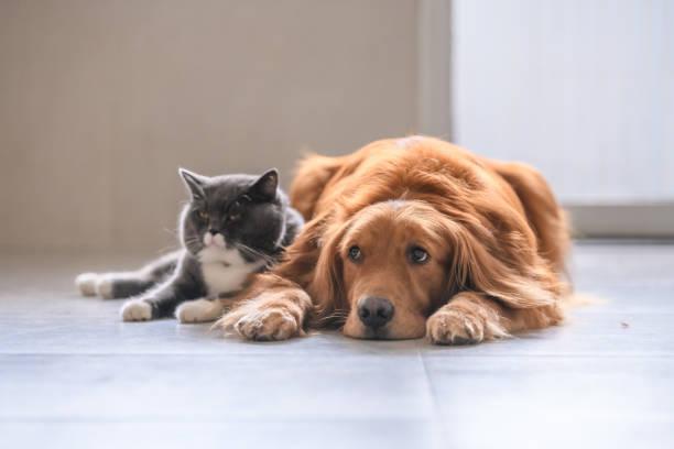 British short hair cat and golden retriever – zdjęcie