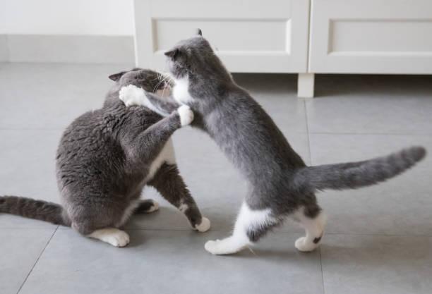 Gato de cabelo curto britânico papai e gatinho - foto de acervo