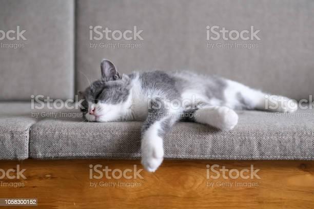 British short hair cat in bed picture id1058300152?b=1&k=6&m=1058300152&s=612x612&h=9kc077ef0wxcu zsyzu9vvofdiq2yebxk89emxthyka=