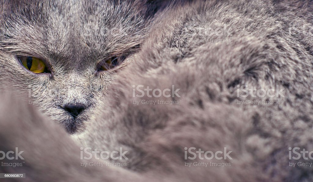 British short hair cat lying curled up royalty-free stock photo