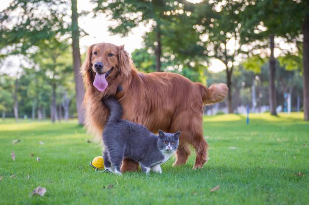 Cães e gatos britânicos cabelo curto jogar no Prado - foto de acervo