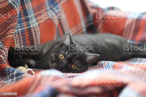 British short hair gray cat picture id1202336125?b=1&k=6&m=1202336125&s=612x612&h=e5vj0iouvktho0bf5q x b7owvecstlwik59zwfa3vo=