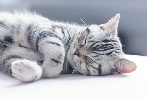 British short hair silver tabby cat sleeping picture id927155866?b=1&k=6&m=927155866&s=612x612&w=0&h=qqutpdmp49 xz00joexserimansnedmeehvflwwipgu=