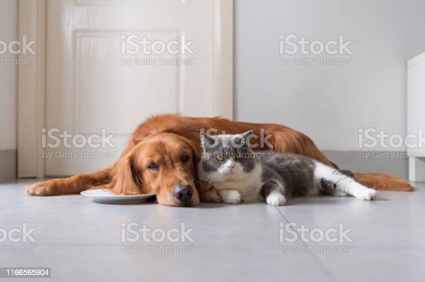 British shorthair and golden retriever friendly picture id1166565904?b=1&k=6&m=1166565904&s=612x612&h=p23wf1udaumotwvxqzribs3ep838glcw4akgw54fqie=