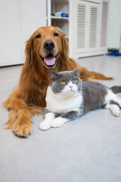 British shorthair and golden retriever picture id1270921208?b=1&k=6&m=1270921208&s=612x612&w=0&h=mzysyn 2asazepuu7k x70jhnka1ymockhxqgbwocom=