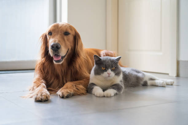 British Shorthair and Golden Retriever British Shorthair and Golden Retriever domestic cat stock pictures, royalty-free photos & images