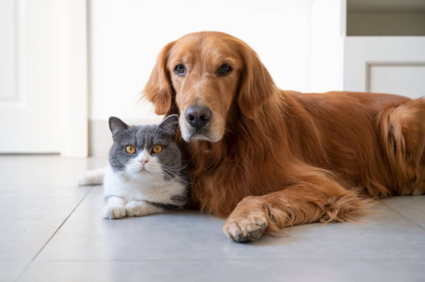 British shorthair and golden retriever picture id1285380449?b=1&k=6&m=1285380449&s=612x612&w=0&h=6ovq88fnmp0s5njsqp4jhdsr27ogmslq9hg4tmtnj0e=