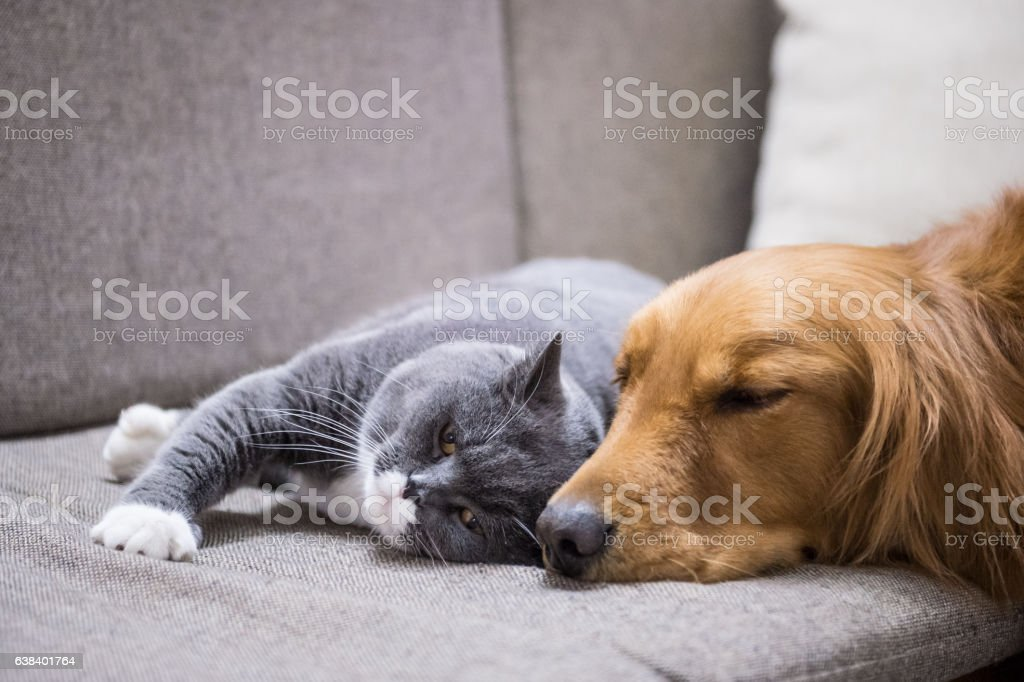 British Shorthair and Golden Retriever foto royalty-free