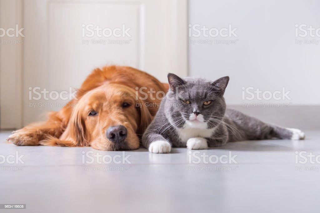 Brytyjski Shorthair i Golden Retriever - Zbiór zdjęć royalty-free (Kot domowy)
