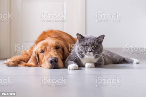 Brytyjski Shorthair I Golden Retriever - zdjęcia stockowe i więcej obrazów Kot domowy