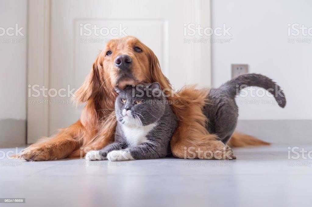 British Shorthair and Golden Retriever - Zbiór zdjęć royalty-free (Bez ludzi)