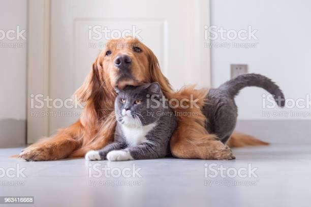 Brytyjski Shorthair I Golden Retriever - zdjęcia stockowe i więcej obrazów Pies