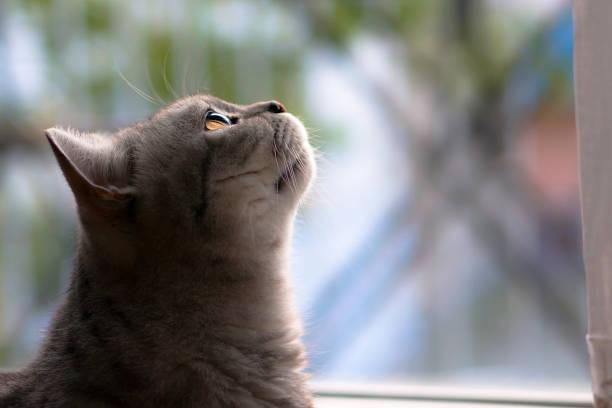 British Shorthair before window stock photo