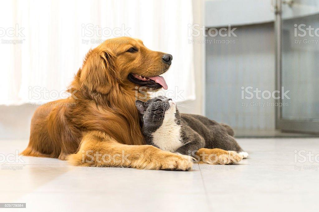Britânico Americano de Pêlo Curto e Labrador Dourado - foto de acervo